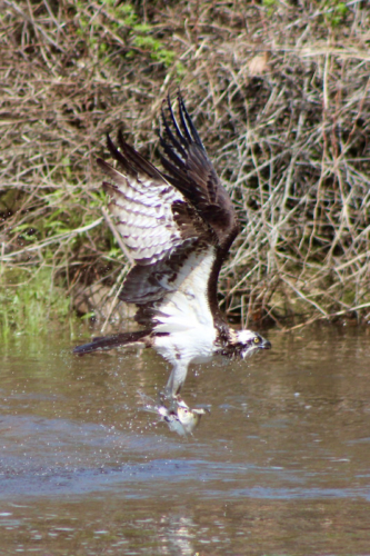 osprey catching lunch