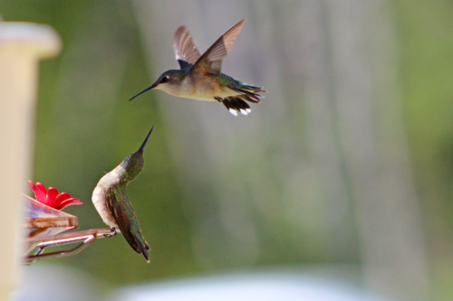 two female ruby throated humming birds