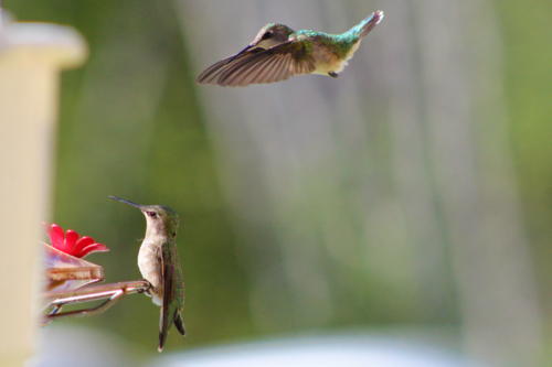 female ruby throated humming birds
