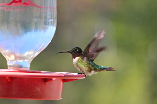 territorial hummingbird