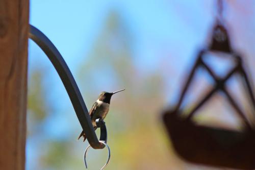 boy hummingbirds return