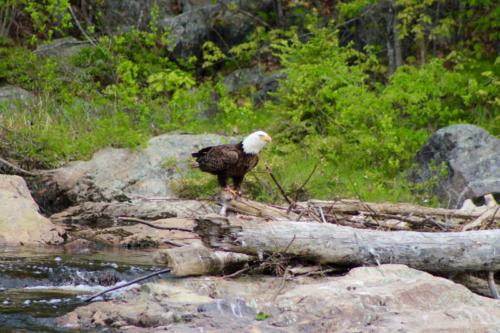 bald eagle on the narraguagus river