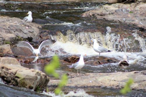 seagulls fishing in the narraguagus