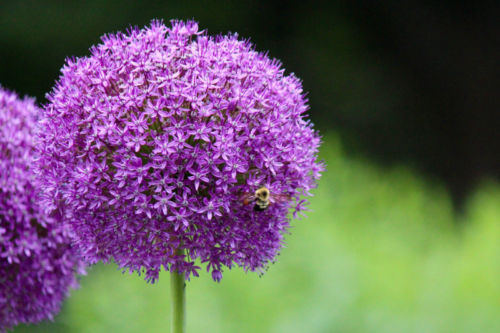 bees on allium at the butterfly garden