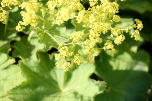 maine lady's mantle