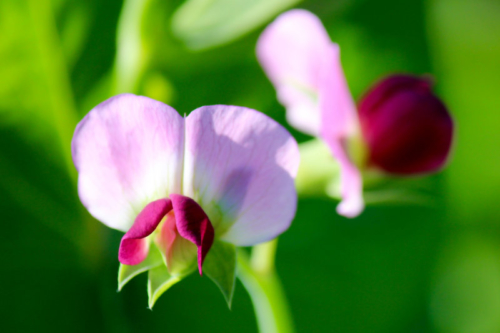 maine pea blossoms