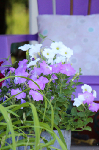 maine purple petunias