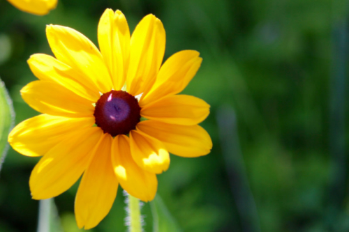 maine black eyed susans