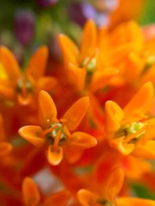 macro view orange flowers