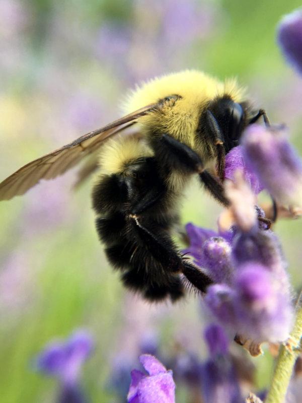 macro view bumble bee