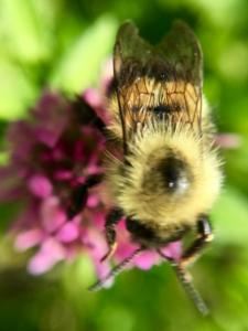 macro view bee on clover