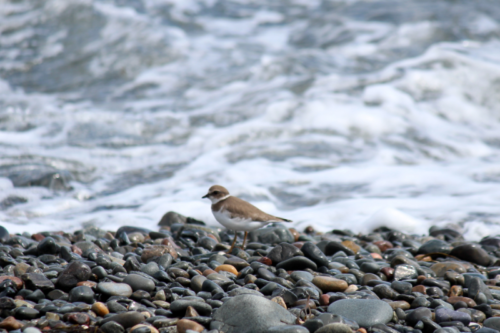 plovers on the cobbled beach