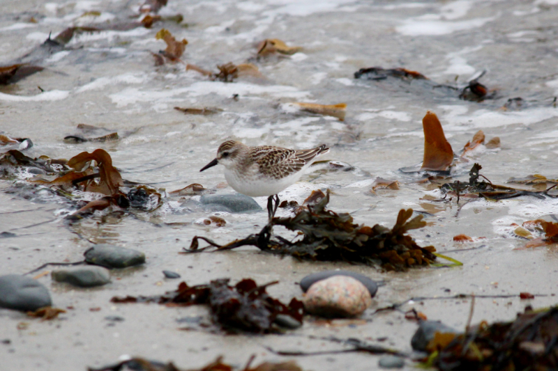 sandpiper in the seaweed