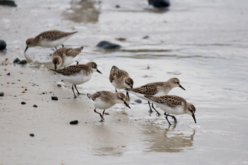 busy sandpipers