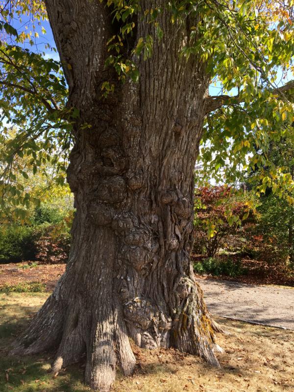 tagged elm trees