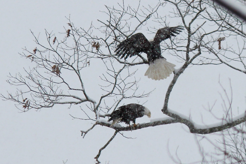 Eagles on a Snowy Afternoon