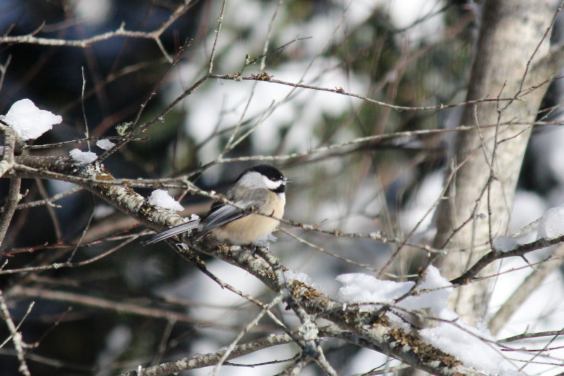 Chickadee on Birch at Downeast Thunder Farm