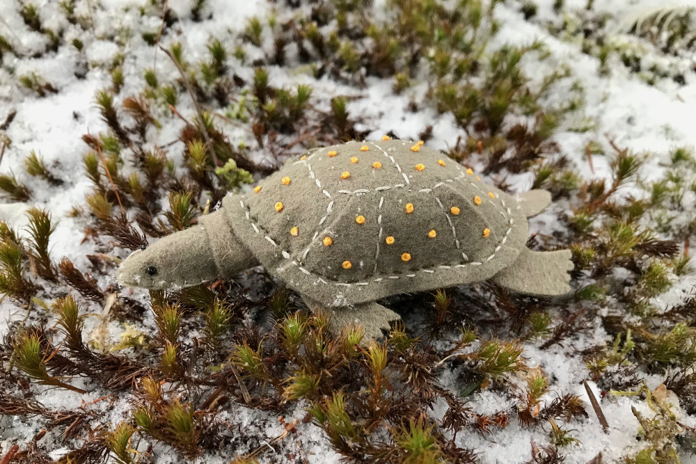 The Endangered Blanding's Turtle