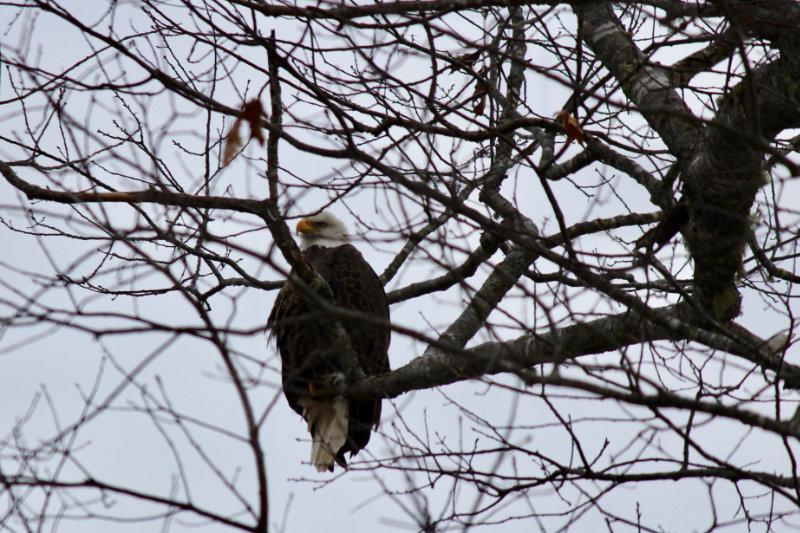 bald eagle overlookin the narraguagus river