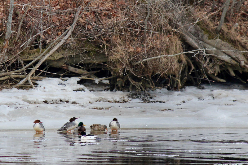 female and male common mergansers on ice