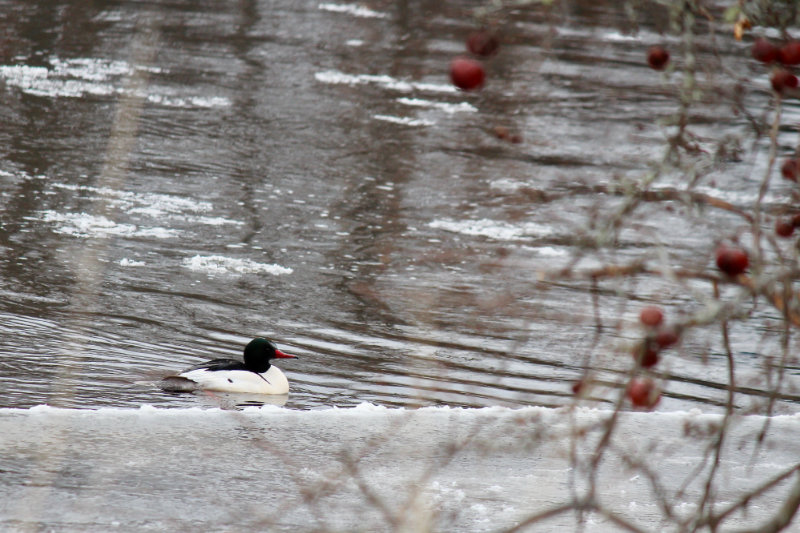 Mergansers on the River