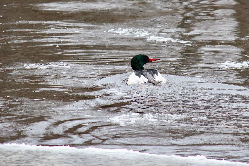 male common merganser on the river