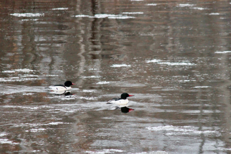 a pair of common merganser males