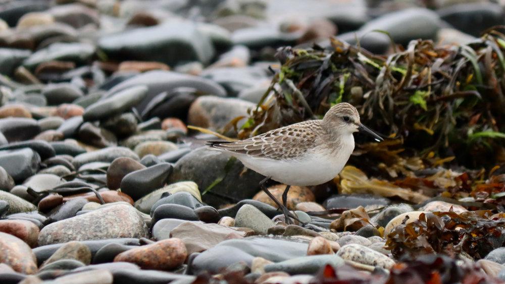 August Shorebirds