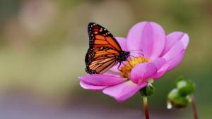 Monarch at Coastal Maine Botanical Gardens